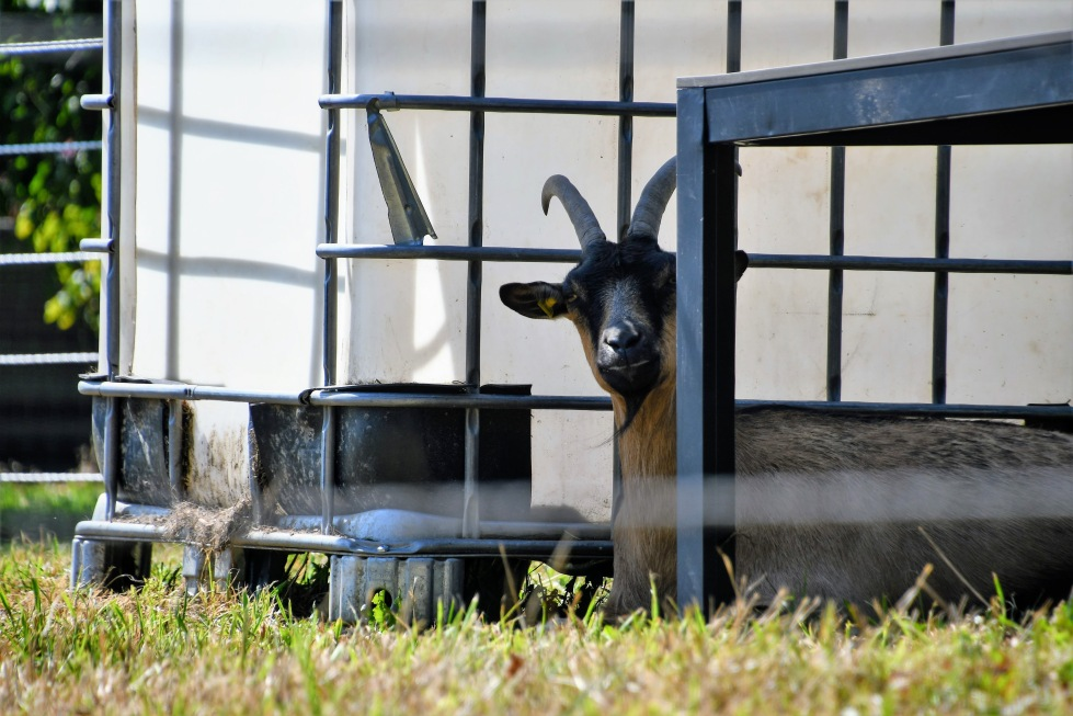 goat-09.08-5