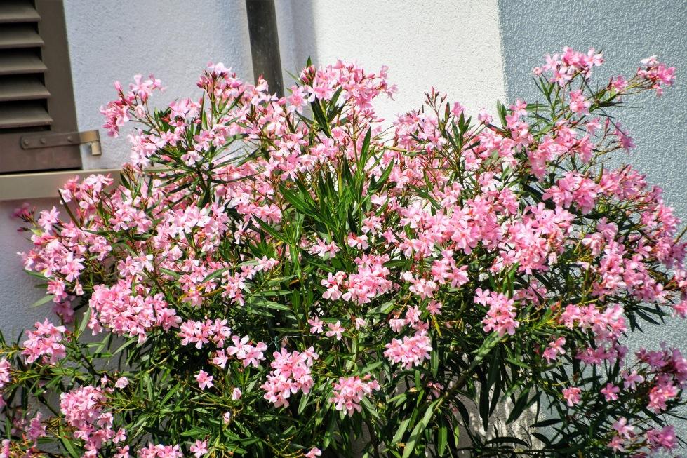 nerium-oleander-15.08.2020