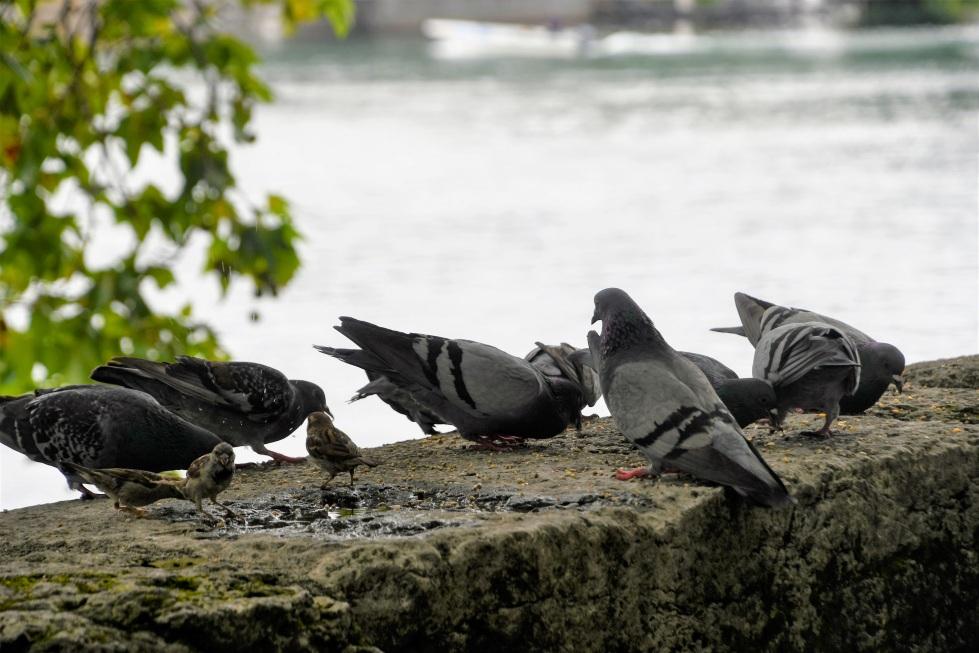 pigeons-04.08-2