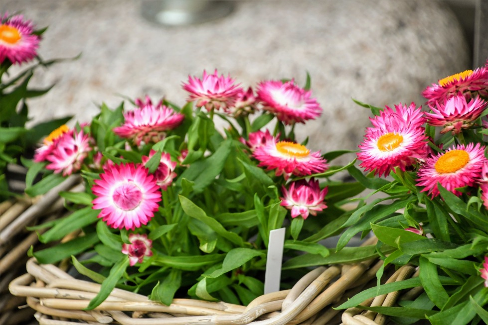 strawflower-04.08.2020